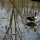 Reflection of the Canadian Goose by lindsycarranza