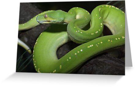 Australian Green Tree Python by Steve Bullock