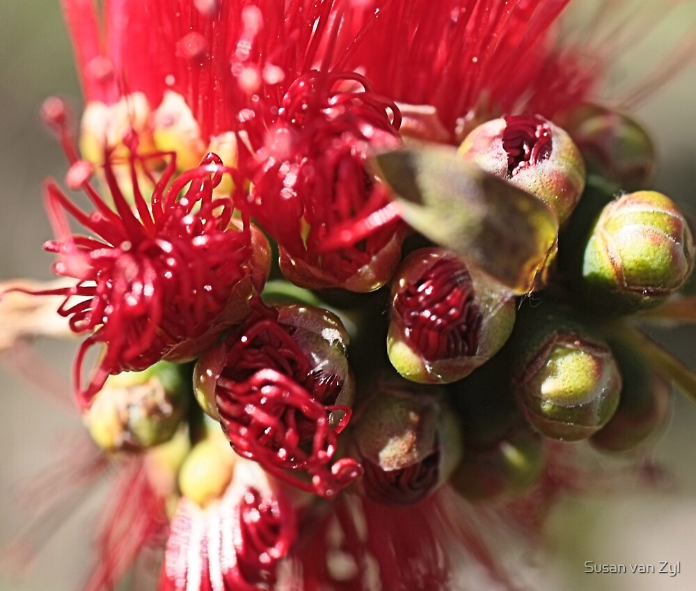 Bottle  Brush by Susan van Zyl