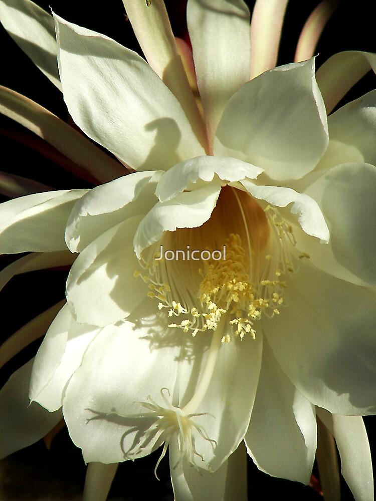 Epiphyllum by Jonicool