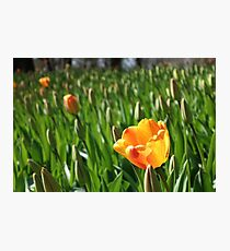 One yellow open tulip in a field of closed tulips. Photographic Print