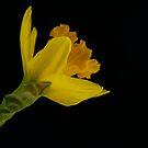 Daffodil by Ann Heffron