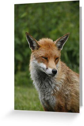 Sly old fox by Ann Heffron