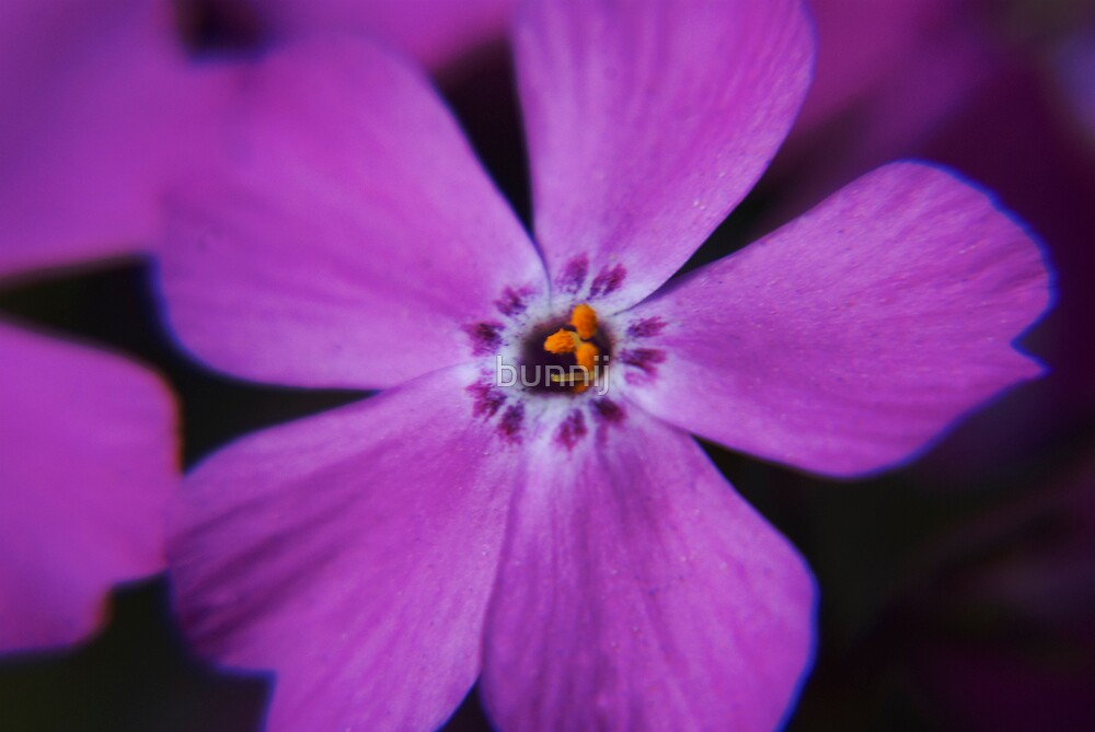 Pink Phlox Macro by bunnij