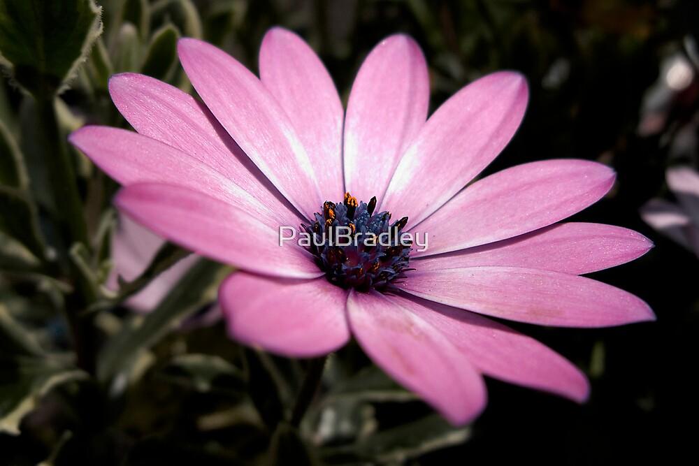 Pink by PaulBradley