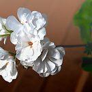 geranium by Bouzov