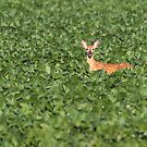White-tailed Fawn 2017-1 by Thomas Young