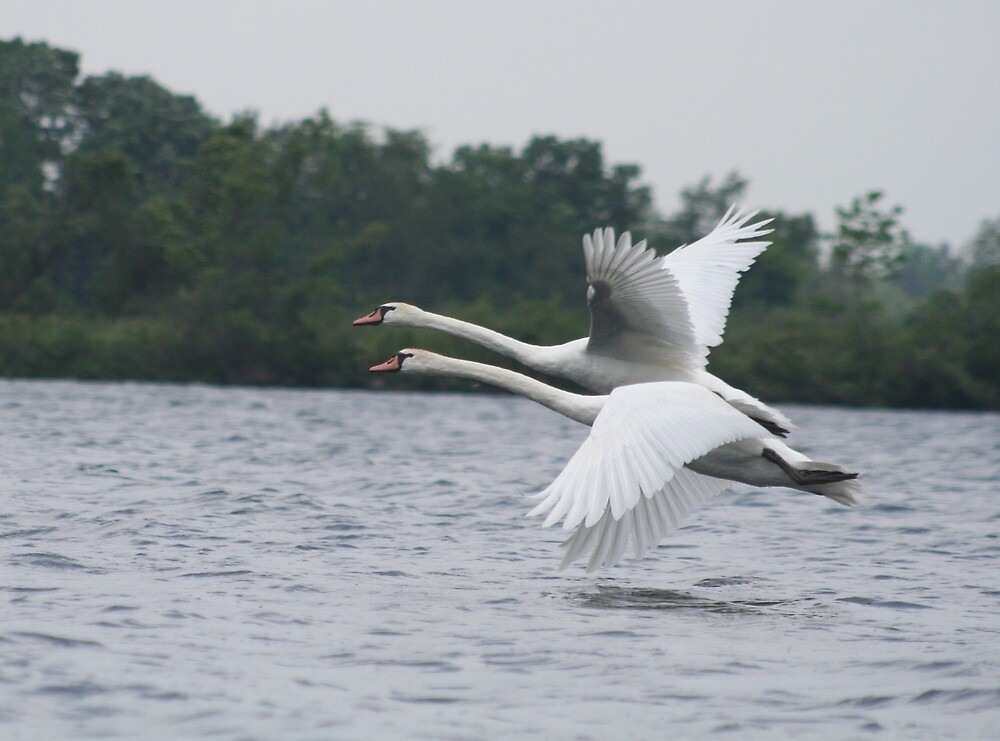 Swans Flying Away 2 by declown
