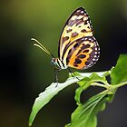 Harmonia Tiger Wing by Grant Glendinning