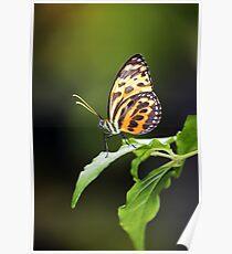 Harmonia Tiger Wing Poster