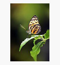 Harmonia Tiger Wing Photographic Print