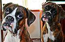 Pretty Please -Boxer Dogs Series- by Evita