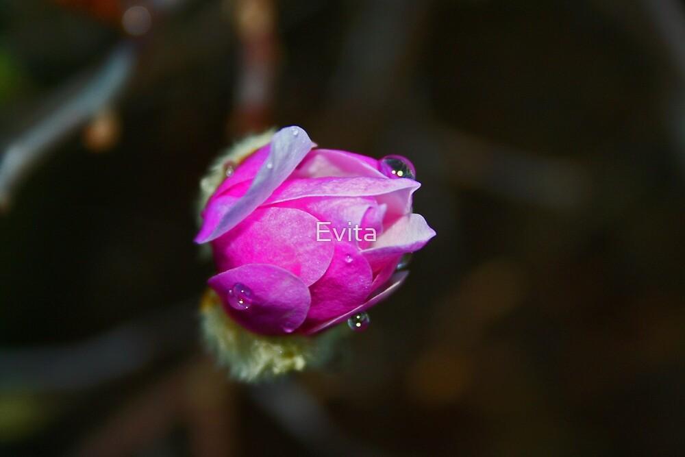 Pink Magnolia by Evita