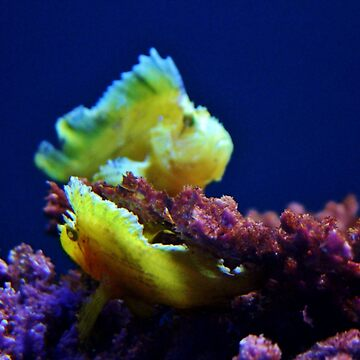 Pair Of Leaf Scorpionfish by Cynthia48
