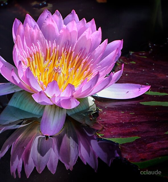 Pink Water Lily with Reflection by cclaude