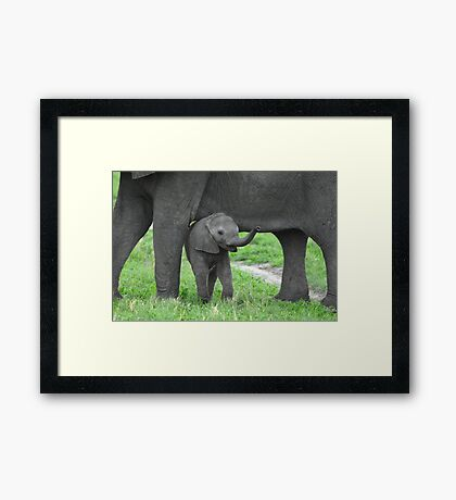 Baby African Elephant with mother Framed Print