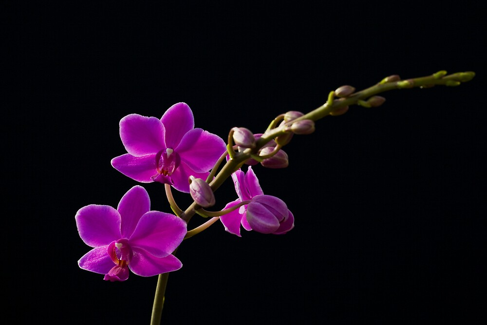 Orchid by stuartf