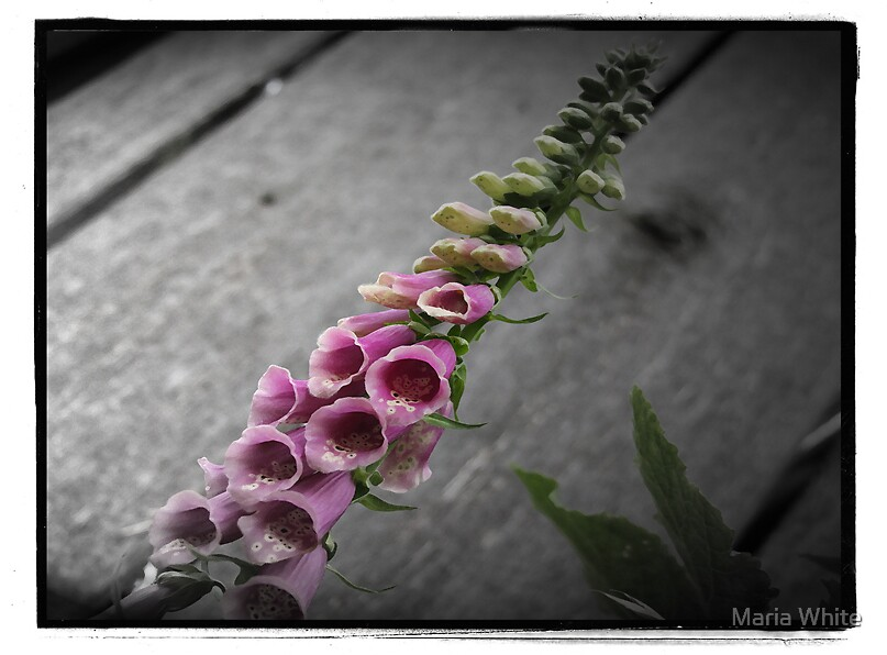Foxgloves By The Barn by Maria White