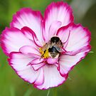 Bee on Cosmos by AnnDixon