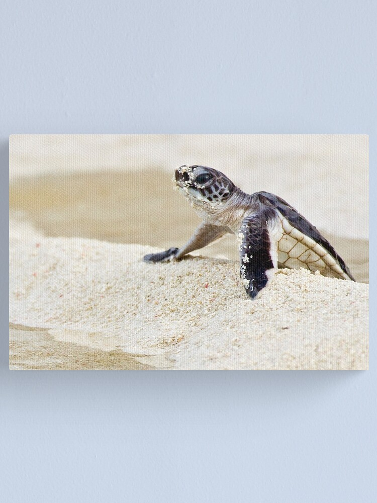 Alternate view of Baby green sea turtle Canvas Print