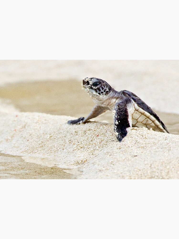 Baby green sea turtle by DavidWachenfeld