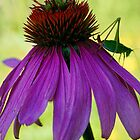 Coneflower and Katydid by T.J. Martin