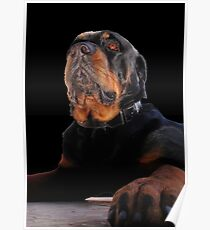 Photograph Portrait Of A Handsome Male Rottweiler Dog Poster