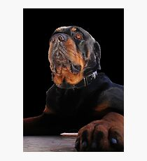 Photograph Portrait Of A Handsome Male Rottweiler Dog Photographic Print