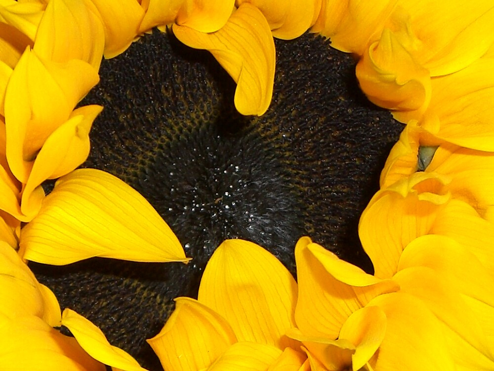 Sunflower by estrada