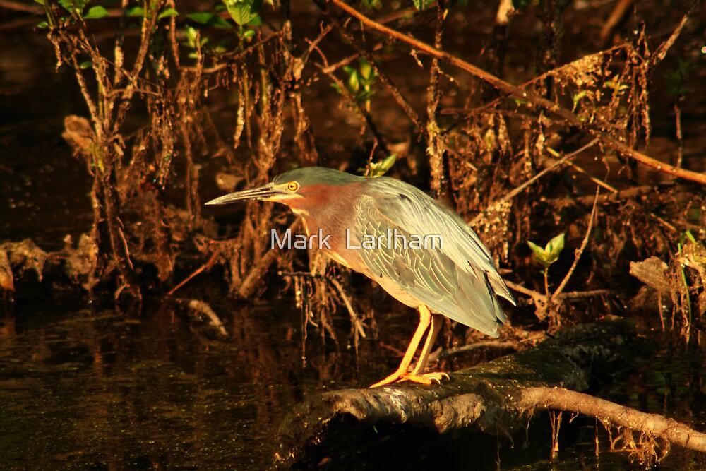 Green Heron by Mark  Larlham