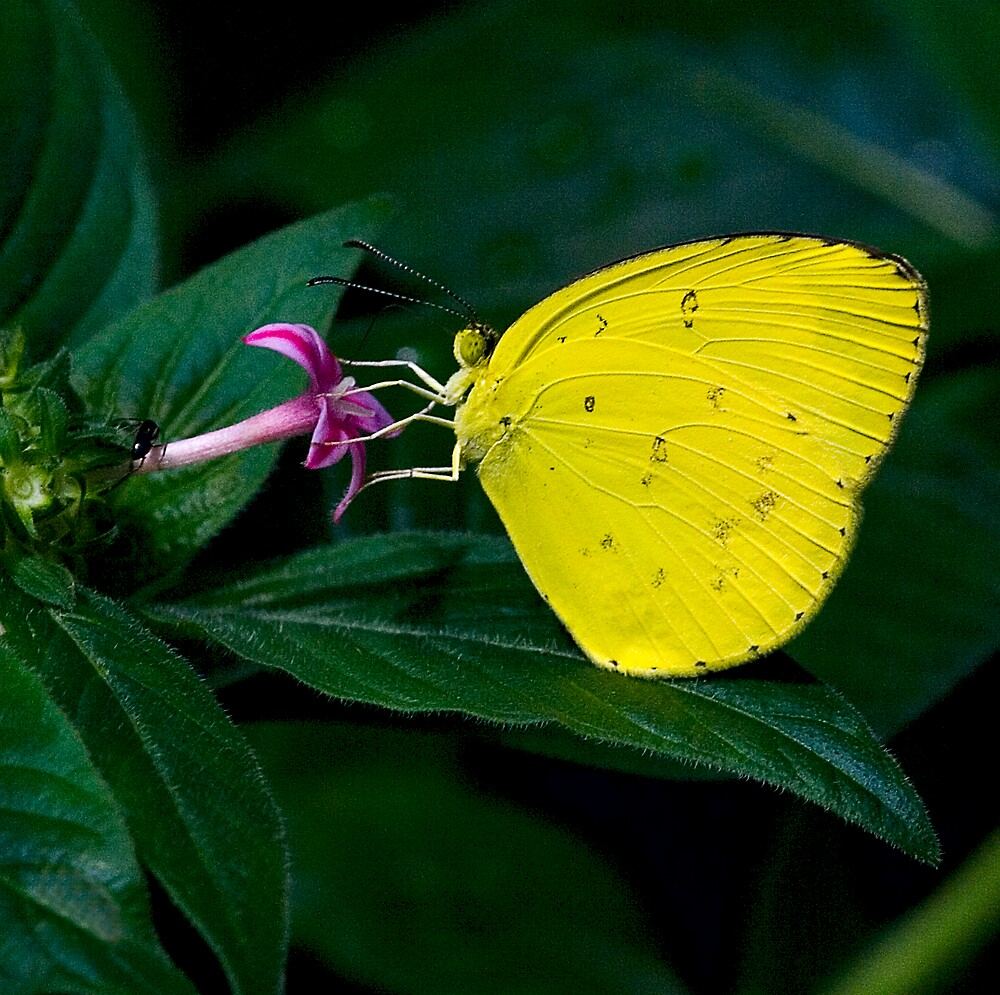 Grass Yellow Butterfly by Fotoman6