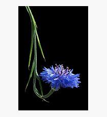 Cornflower Curl Photographic Print