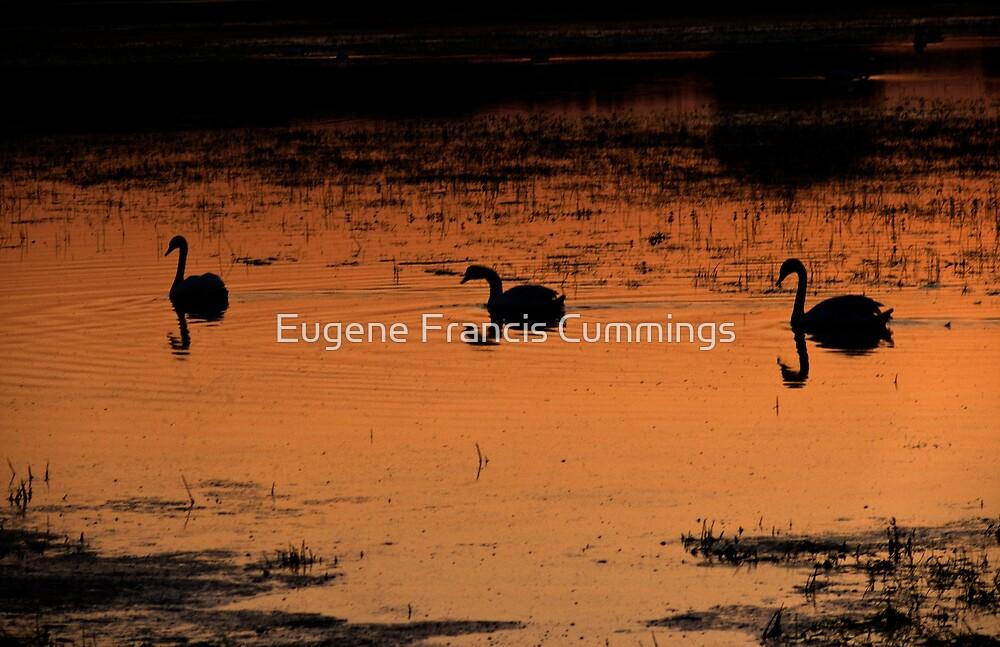 333 swans. by Eugene Francis Cummings