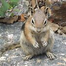 Chipmunk, Georgetown, Colorado by lenspiro