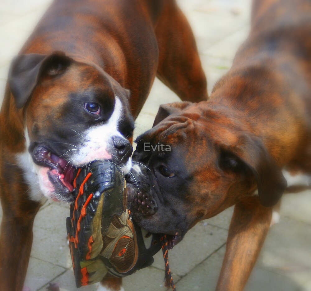 Two Dogs & One Shoe -Boxer Dogs Series- by Evita