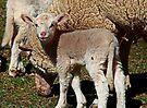 Kleines Lamm von Evita