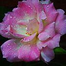 Regentropfen auf einer rosa Rose von Evita