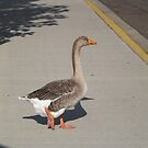 Duck on a Sidewalk, Denver, Colorado by lenspiro