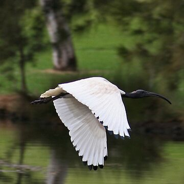 White Ibis In Flight by Evita