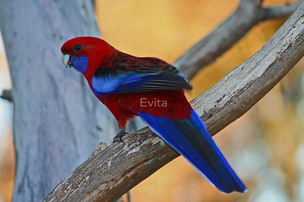 Rosella by Evita