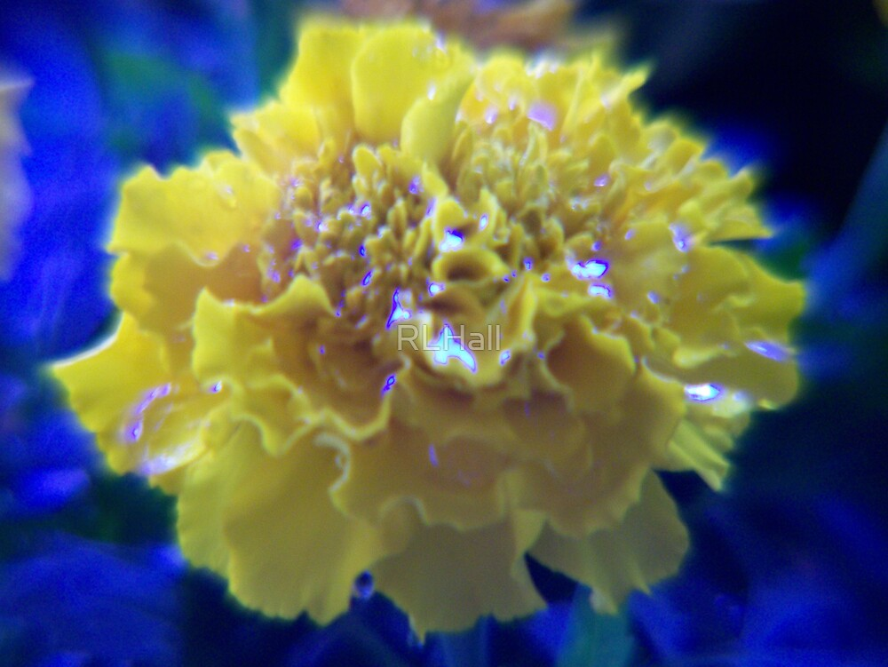 Marigold ~ after a watering by RLHall