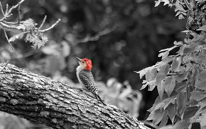 Woodpecker  by Maria White