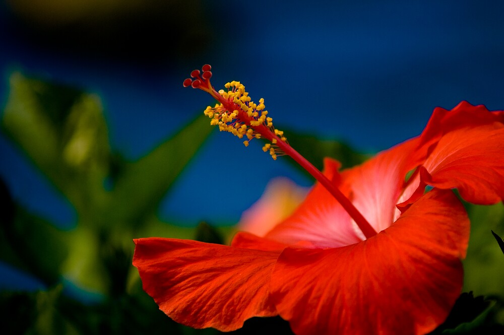 hibiscus by jpghouse