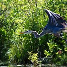 The Great Blue Heron by patti4glory