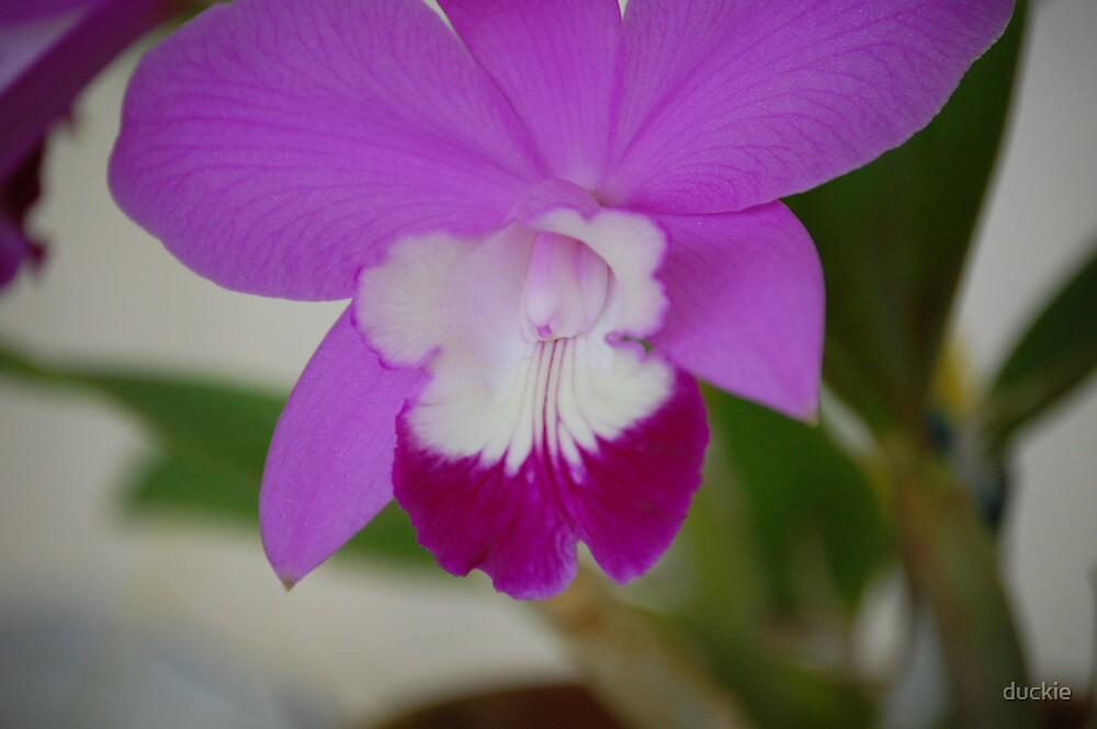 orchid by duckie
