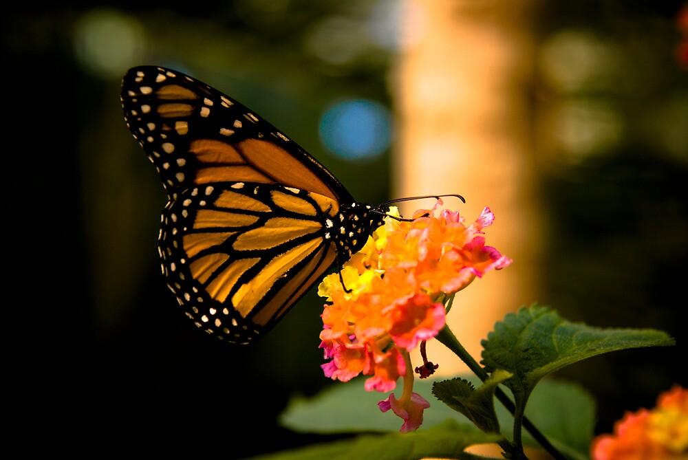 Monarch Butterfly by Scott Burns