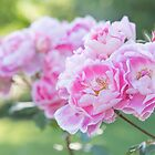 June Roses and Sunshine by Amy Mitchell