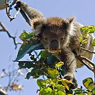 Long reaching koala by MagnusAgren