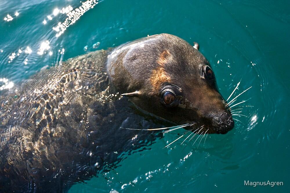 Seal Close up by MagnusAgren