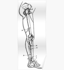 Human Anatomy Drawing: Leg Skeleton Bones Poster